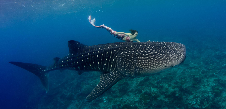 Meerjungfrau schwimmt mit Walhaien