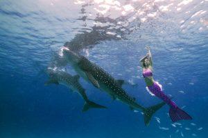 Meerjungfrau schwimmt mit Walhaien in de Philippinen